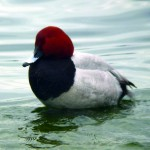 冬の渡り鳥、ホシハジロ。群れで淀川河口に浮いてます。撮影:橋本正弘